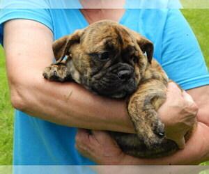 Puppyfinder com: English Bulldog puppies puppies for sale