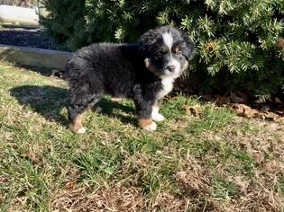 Miniature Australian Shepherd Puppy For Sale in BERRYVILLE, AR, USA