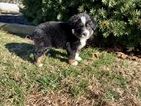Miniature Australian Shepherd Puppy For Sale in BERRYVILLE, AR, USA
