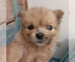 Small Photo #4 Pomeranian Puppy For Sale in CARTHAGE, TX, USA
