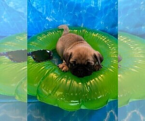 Pug Puppy for Sale in BRIDGEWATER, Virginia USA