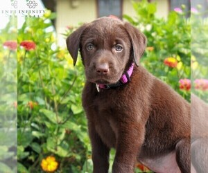 Labrador Retriever Puppy for sale in LEBANON, PA, USA