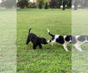 Irish Doodle Puppy for sale in PALMYRA, VA, USA