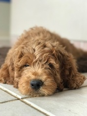 Goldendoodle Puppy For Sale in HOLLYWOOD, FL, USA