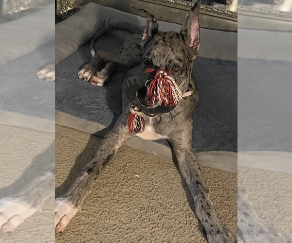 Medium Photo #2 Great Dane Puppy For Sale in MARLBORO, MD, USA