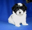 Maltese-Poodle (Toy) Mix Puppy For Sale in HOWE, Oklahoma,