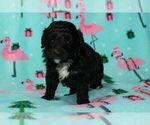 Puppy 2 Australian Shepherd-Poodle (Miniature) Mix
