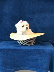 Maltese Puppy For Sale in FORT WORTH, TX, USA