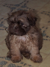 ShiChi Puppy For Sale in BUFFALO, NY