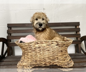Soft Coated Wheaten Terrier Puppy for sale in CINCINNATI, OH, USA