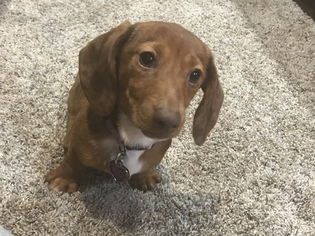 Dachshund Puppy For Sale in EDEN VALLEY, MN, USA