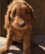 Goldendoodle Puppy For Sale in SARASOTA, Florida,