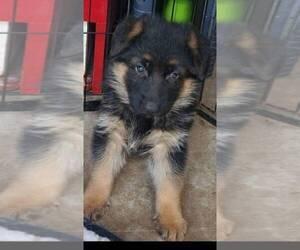 German Shepherd Dog Puppy for Sale in WHEELING, Illinois USA