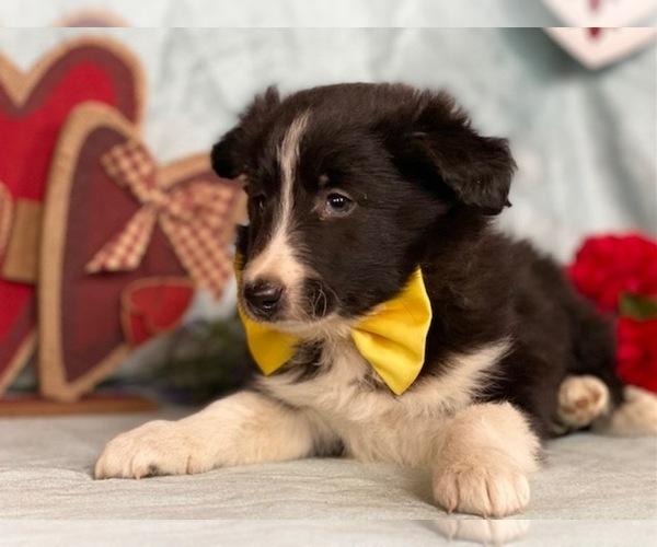 Medium Photo #1 Border Sheepdog Puppy For Sale in LANCASTER, PA, USA