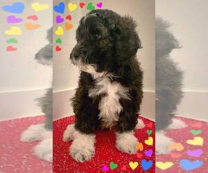 Aussie-Poo-Aussiedoodle Mix Puppy for Sale in SANGER, Texas USA