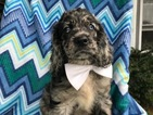 Cocker Spaniel Puppy For Sale in QUARRYVILLE, PA, USA