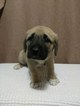 Anatolian Shepherd Puppy For Sale in ASHEVILLE, North Carolina,
