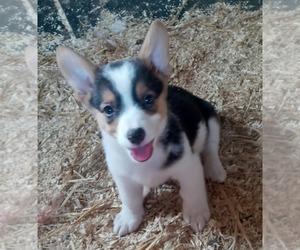 Pembroke Welsh Corgi Puppy for sale in SPOTSYLVANIA, VA, USA