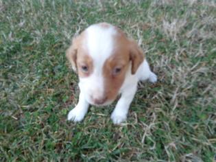 Brittany Puppy For Sale in CATALPA, VA, USA