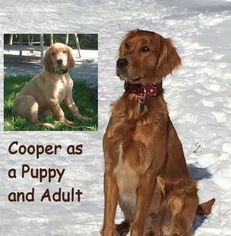 Golden Retriever Puppy For Sale in WOLCOTT, IN