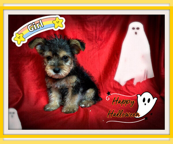 Medium Photo #2 Maltese-Morkie Mix Puppy For Sale in SAN FRANCISCO, CA, USA