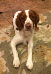 Brittany Puppy for sale in SIMI VALLEY, CA, USA