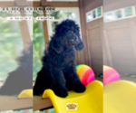 Small Poodle (Standard)