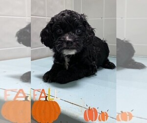 Cockapoo Puppy for sale in CLARE, IL, USA