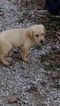 Labrador Retriever Puppy For Sale in MONTGOMERY CITY, MO, USA