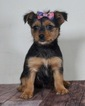 Chorkie Puppy For Sale in WARSAW, IN, USA