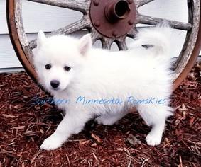 View Ad: Pomsky Puppy for Sale near Minnesota, MANKATO, USA  ADN-72065