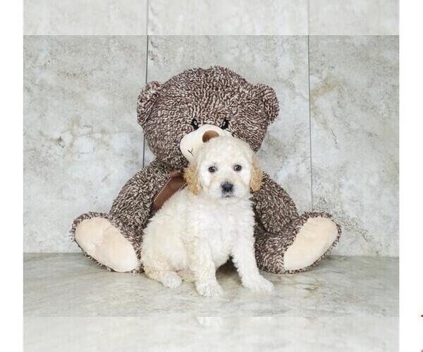 Puppyfindercom View Ad Photo 2 Of Listing Golden