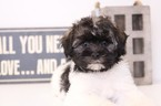 Havanese Puppy For Sale in NAPLES, FL