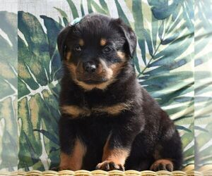 Rottweiler Puppy for sale in MOHRSVILLE, PA, USA