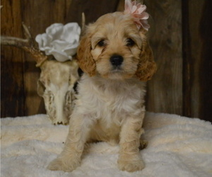 Cock-A-Poo Puppy for sale in HONEY BROOK, PA, USA