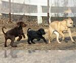 Small #34 American Staffordshire Terrier-Labrador Retriever Mix