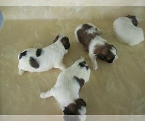 Shih Tzu Dog for Adoption in S ZANESVILLE, Ohio USA