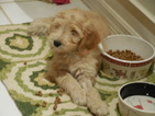 Goldendoodle Puppy For Sale in BROOKSVILLE, FL, USA