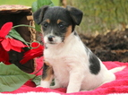 Jack-A-Poo Puppy For Sale in MOUNT JOY, PA, USA