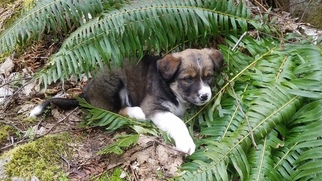 Australian Shepherd-Wolf Hybrid Mix Puppy For Sale in SHERWOOD, OR, USA