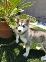 Siberian Husky Puppy For Sale in VISTA, CA, USA