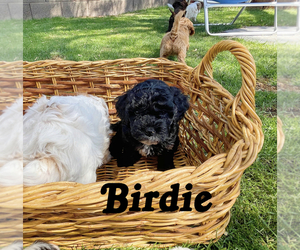 Goldendoodle Puppy for Sale in GILBERT, Arizona USA