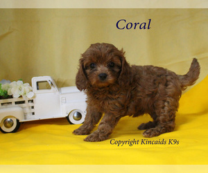 Cavapoo Puppy for Sale in CHANUTE, Kansas USA