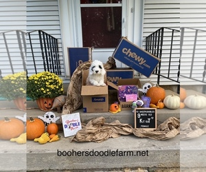 Sheepadoodle Puppy for Sale in BELLEFONTE, Pennsylvania USA