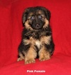 German Shepherd Dog Puppy For Sale in WESLACO, TX
