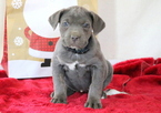 Cane Corso Puppy For Sale