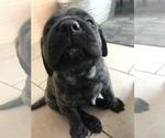 Puppy 4 Mastiff