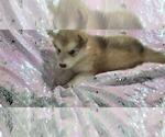 Small #25 Alaskan Malamute
