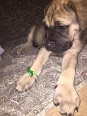 Mastiff Puppy For Sale in CRESTVIEW, FL