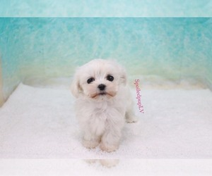 Maltese Dog for Adoption in LAS VEGAS, Nevada USA
